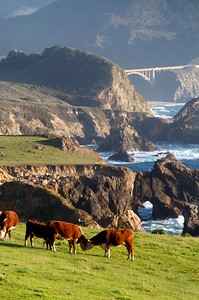 The happiest cows in the world, at least at this moment, were probably right here.  Beautiful spring day along CA-1 near Big Sur.  I like how this image has three different kinds of arches--a man-made one, a natural arch, and the arch made by the two cows.