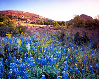 Enchanted Rock and bluebonnets, Texas, April 2010.  A great morning for shooting the flowers at sunrise, nice and calm with the sun peeking through some patchy clouds.  It's a great study in contrast to see the bluebonnets thriving amidst the prickly pear in this arid environment.