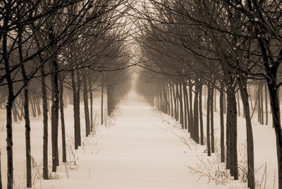 Two converging rows of trees at a nursery, near Longmont, Colorado in the winter of 2007