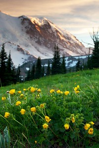 Mount Rainier and alpine avens (I think)