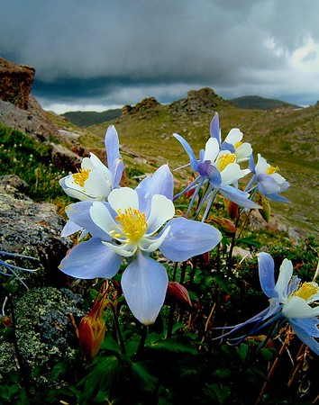 """A fast-approaching thunderstorm reminded me why this is called """"Stormy Peaks"""".  Truthfully, I should have kept hurrying to timberline but I couldn't resist this little arrangement of Columbine in the rocks at 12,000' on the north side of Rocky Mountain National Park."""