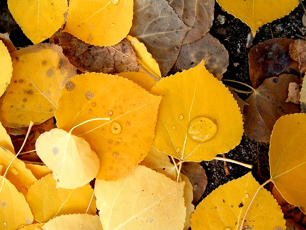 One of my first really successful photos, from back in 2004, taken on my little pocket digital camera (you can get a great picture on any camera, just stay within the limits of the device).  I saw this collection of aspen leaves along the Colorado Trail while starting a hike up Mt. Elbert.  It had snowed a bit the night before, and I started late enough that it had melted and left nice drops of water on the fallen leaves.