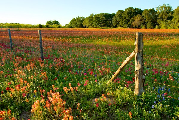 "A field of paintbrush carpets a Texas field in the spring.  I'd hoped to get this scene on film, but a cloud changed those plans.   ""Sometimes chicken, sometimes feathers,"" said my cousin, who had come along for the ride with me."