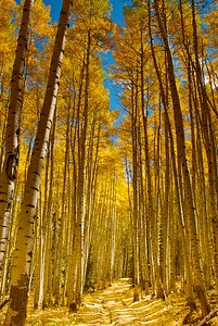 A lovely doubletrack path through giant aspens near Ridgway, Colorado, out at the end of County Road 5 on the way to Moonshine Park.  Absolutely wonderful place for a ride or a stroll.  These leaves are usually at their best in the last week of September or the first week of October.
