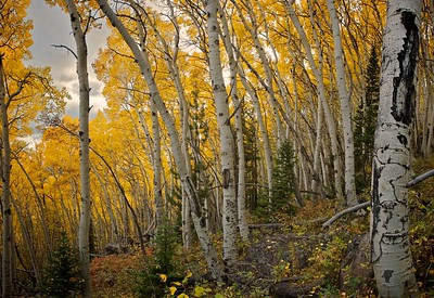 In the turning aspens on Bierstadt Moraine, Rocky Mountain National Park, Colorado.  September 2012.