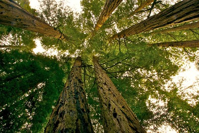 Looking up in Muir Woods National Monument, California
