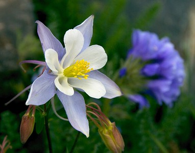 Blue columbine near Tincup Pass, Colorado in early July