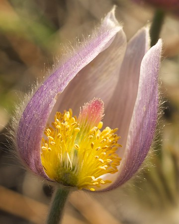 A wildflower at Vedauwoo, Wyoming.  The top petal was missing before I shot it, I promise!