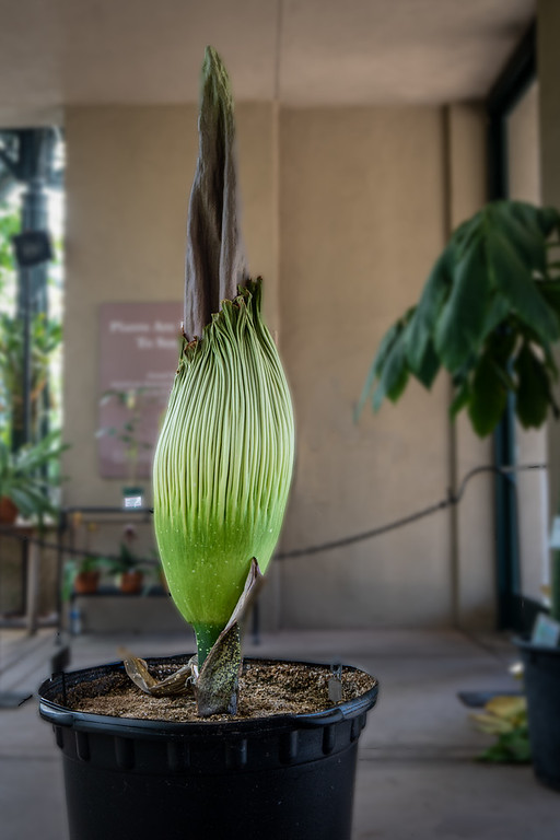 The 2019 Corpse Flower at the Huntington