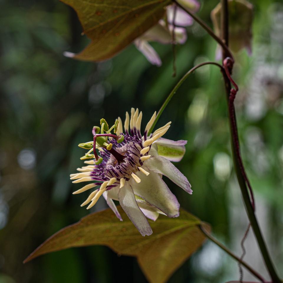 Blakea gracilis comes from Central America