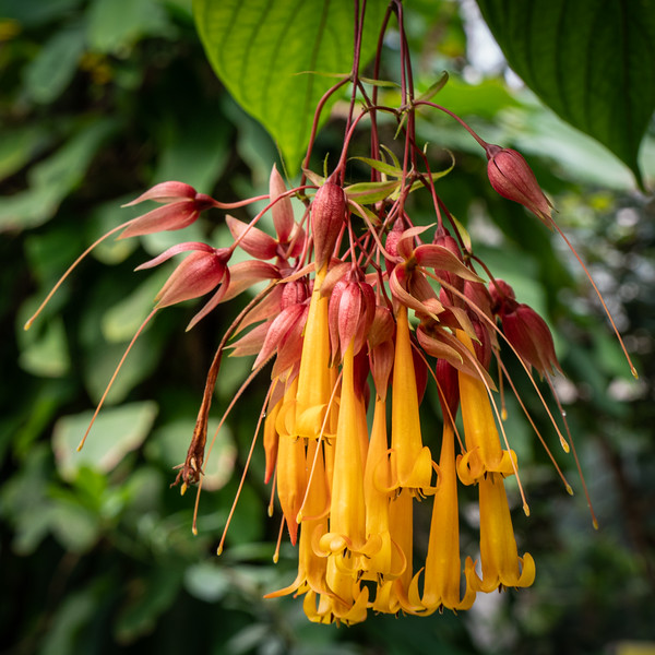 Deppea splendens, the conservatory at the Huntington Botanical Gardens