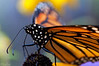 Monarch<i>(Danaus plexippus)<i/>
