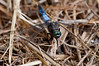 Black-tailed Skimmer <I>(Orthetrum cancellatum)<I/>