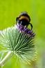 White-tailed Bumblebee <I>(Bombus lucorum)<I/>