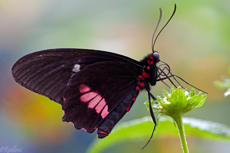 Red-bodied Swallowtail<i>(Papilio polydorus)