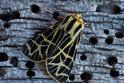 Ornate tiger moth (Apantesis ornate)