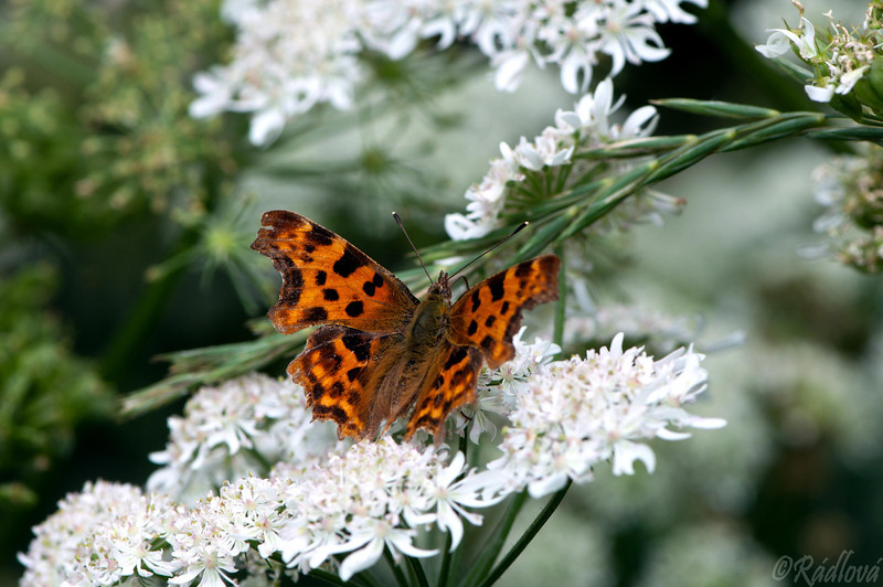 Comma Butterfly <I>(Polygonia c-album)<I/>