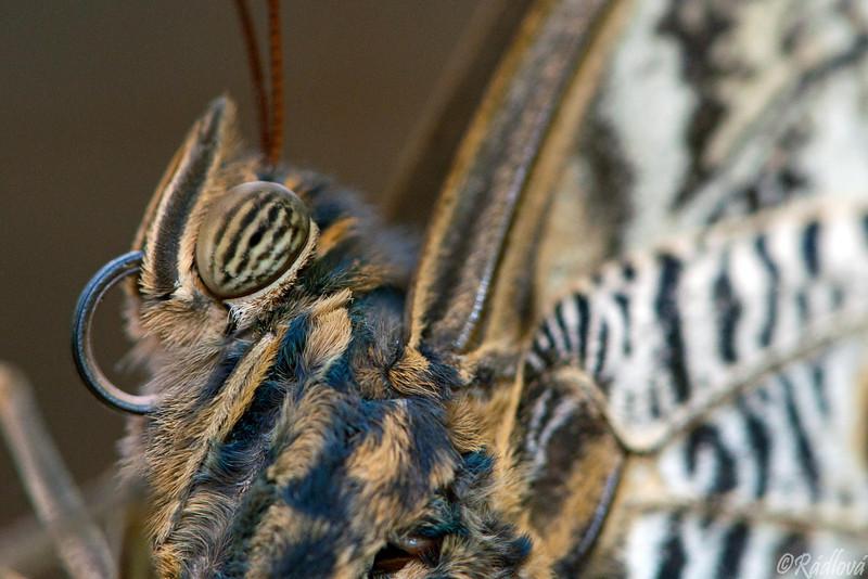 Owl Butterfly<i>(Caligo eurilochus)<i/>