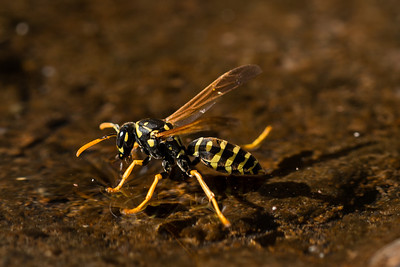 Wasp Drinking