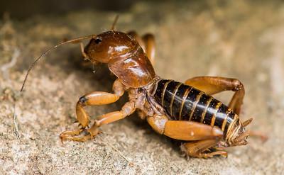 Potato Bug (Stenopelmatus fuscus)