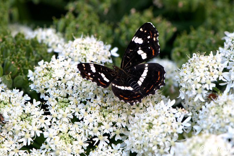 Map Butterfly <I>(Araschnia levena)<I/>