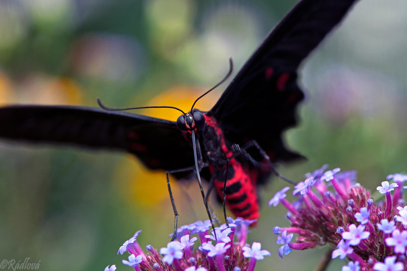 Red-bodied Swallowtail<i>(Papilio polydorus)
