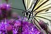 Rice Paper Butterfly <i>(Idea leuconoe)<i/>