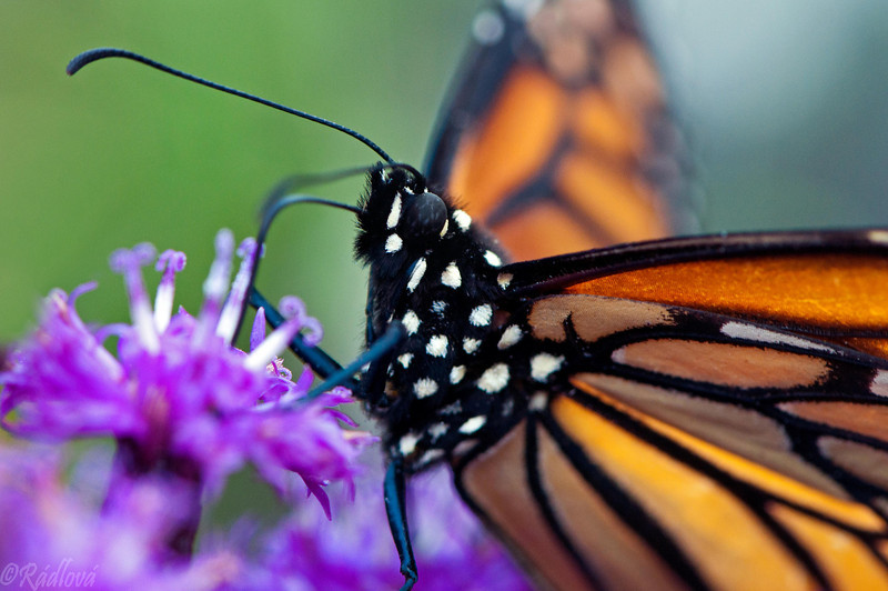 Monarch<i>(Danaus plexippus)<i/>