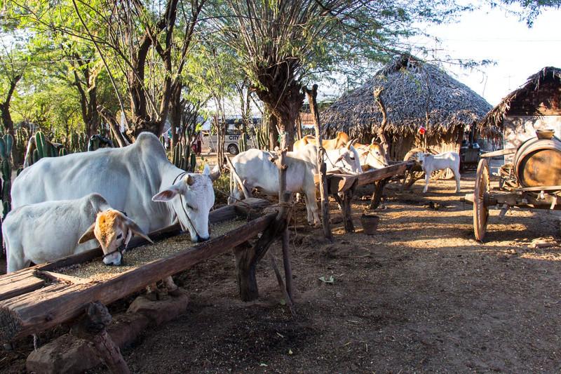 Oxen behind a village house