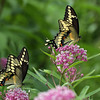 Giant Swallowtail Butterflies on Joe-Pye Weed