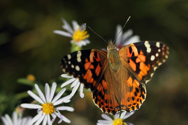 Painted Lady on Daisies