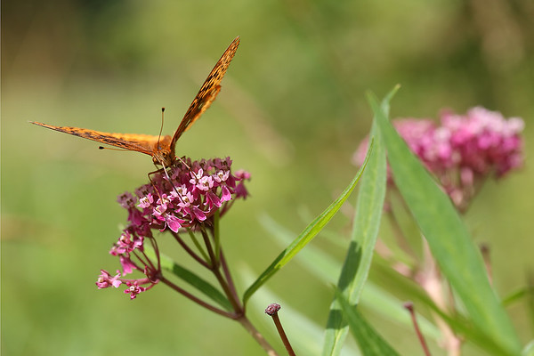 Great Spangled Fritillary butterfly on Joe-Pye Weed