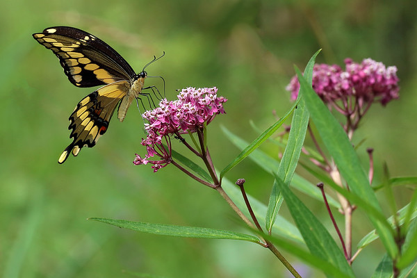 Giant Swallowtail on Joe-Pye Weed