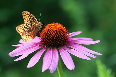 Great Spangled Fritillary butterfly on Echinacea
