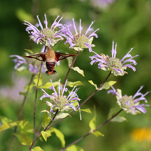 Clearwing Hummingbird Moth on Wild Bergamot