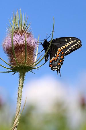 Black Swallowtail Butterfly on Teasel