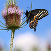 Black Swallowtail Butterfly on Teasel