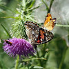 A Painted Lady Butterfly and a  Common Copper on Bull Thistle