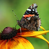 Red Admiral Butterfly on Rudbeckia flower