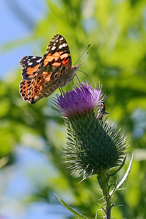 A Painted Lady and insect on Bull Thistle
