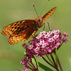 Great Spangled Fritillary butterfly on Joe-Pye Weed