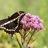 Giant Swallowtail (and a little orange one)  on Joe-Pye Weed