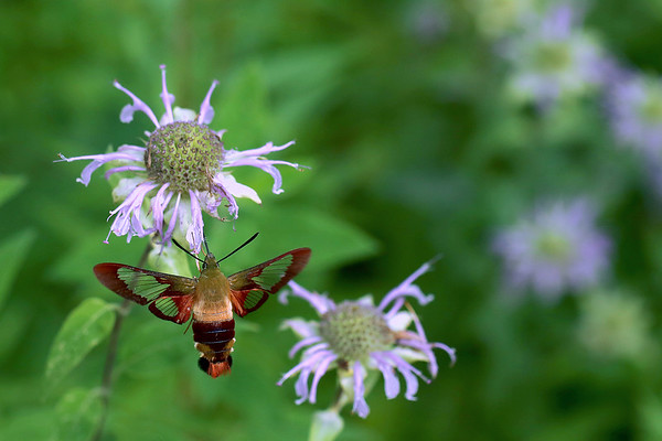 Hummingbird Clearwing Moth on Wild Bergamot