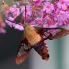 Hummingbird Clearwing Moth on Butterfly Bush flower