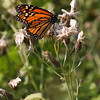 Monarch Butterfly on Canadian Thistle