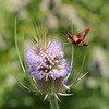 Hummingbird Clearwing Moth on Teasel