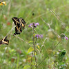 Giant Swallowtail butterfly on Wild Bergamot