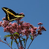 Giant Swallowtail and Joe-Pye Weed