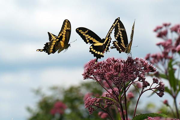 Giant Swallowtails on Joe-Pye Weed