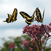 Giant Swallowtails on Joe-Pye Weed